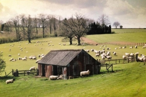 Notgrove Barn and sheep